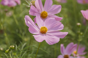Close up cosmos flower in the garden for background