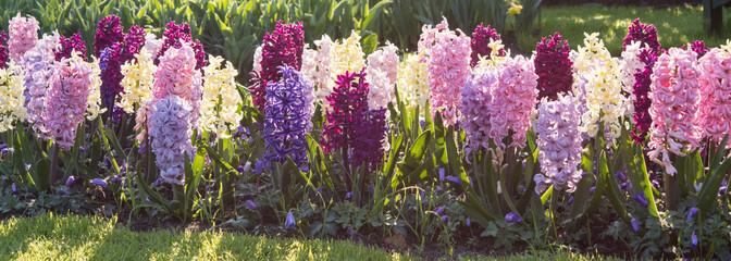 Hyazinthen in verschiedenen Farben in einem Blumenbeet