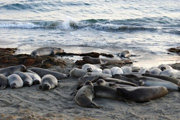 Elephant seals - Pacific Coast Highway