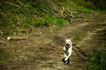 Hund Labrador Retriever