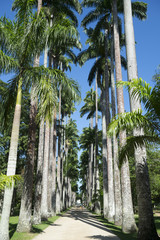 Avenue of Royal Palms Botanic Garden Rio