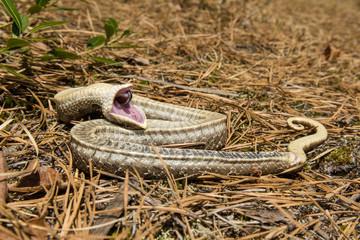 Eastern Hognose Snake playing dead.