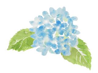 青色の紫陽花 水彩イラスト