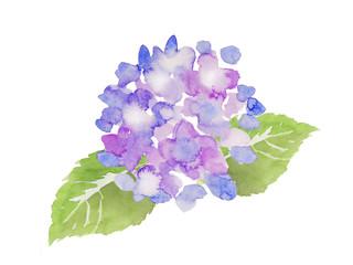 紫色の紫陽花 水彩イラスト