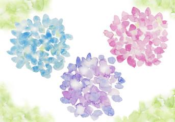 3色のあじさい 水彩イラスト