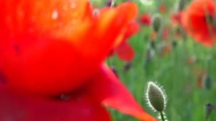 Fotoväggar - Poppy field. Blooming Poppies
