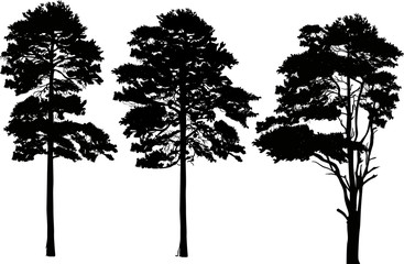 three high pine silhouettes isolated on white