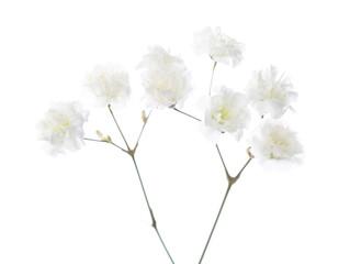 Gypsophila isolated on white background. Selective focus