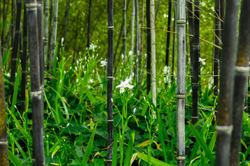 Iris japonica in rare black bamboo forest in Kyoto, Japan