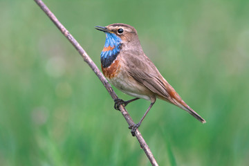 Bluethroat on green background