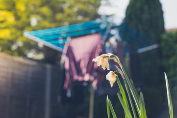 Daffodils in garden with laundry in background