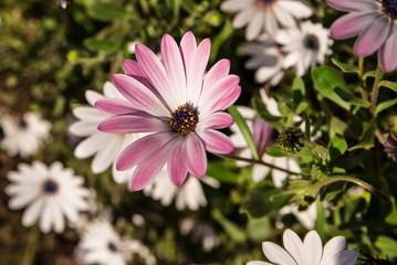 Marguerite rose