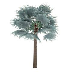 Palm tree isolated. Bismarckia Nobilis