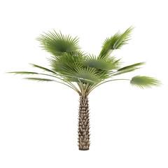 Palm tree isolated. Copernicia