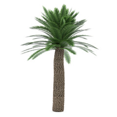 Palm tree isolated. Cycas Revoluta