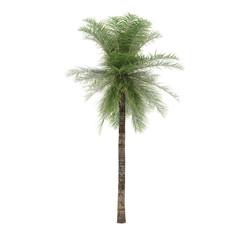Palm tree isolated. Elaeis Guineensis