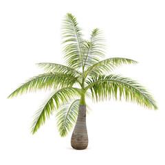 Palm tree isolated. Hyophorbe Lagenicaulis