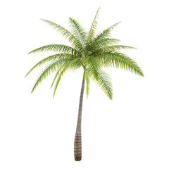 Palm tree isolated. Hyophorbe Lagenicaulis