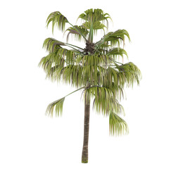 Palm tree isolated. Livistona