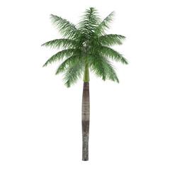 Palm tree isolated. Roystonea