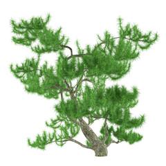 Exotic pine tree