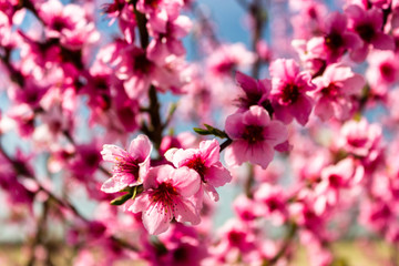 The arrival of spring in the blossoming of peach trees treated w