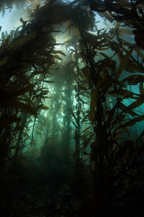 Wall Mural - Giant Kelp and Light