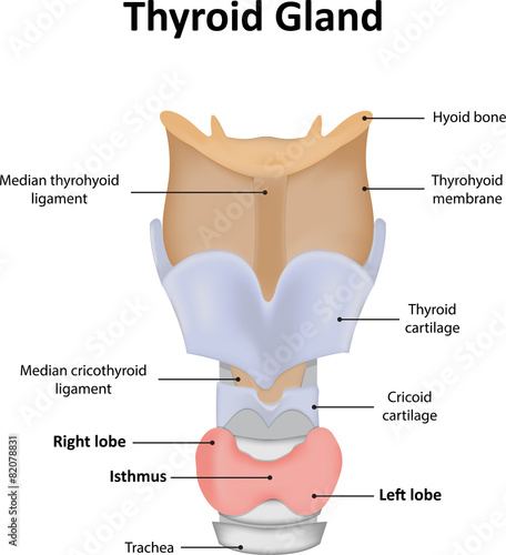Thyroid Gland Labelled Diagram Stock Photo And Royalty Free Images