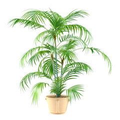 Palm plant in the pot