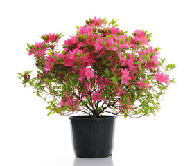 Spoed Foto op Canvas Azalea vase with blossom azalea
