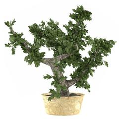 Decorative Bonsai tree plant in the pot