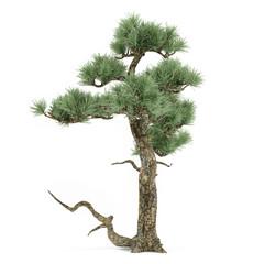 bonsai exotic pine tree