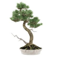 Bonsai exotic pine tree pot