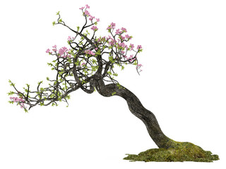 Bonsai flower plant tree isolated