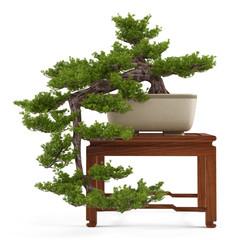 Bonsai pine tree in a pot