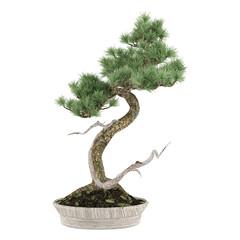 Bonsai exotic pine tree pot isolated