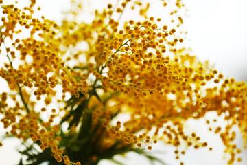 Beautiful mimosa close up