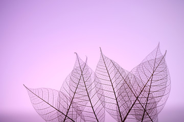Acrylic Prints Decorative skeleton leaves Skeleton leaves on purple background, close up