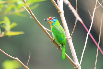 Black-browed Barbet (Megalaima oorti) in Sumatra, Indonesia
