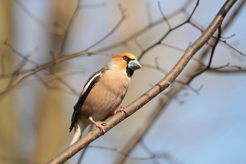 Hawfinch (Coccothraustes coccothrautes) on a twig