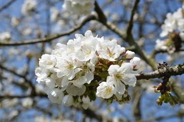 Baumblüte der Kirsche