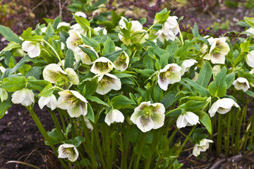 Close-up of a white hellebore with purple spots in a garden. Wall mural