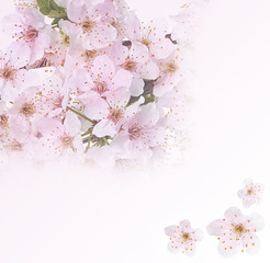 Flowering apple blossom branches. Background
