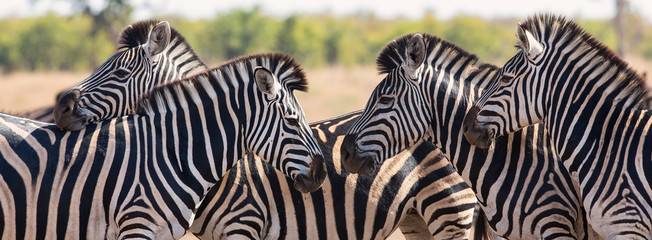Canvas Prints Zebra Zebra herd in colour photo with heads together