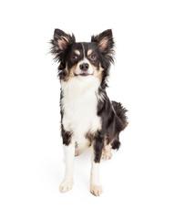 Attentive Chihuahua Mixed Breed Dog Sitting