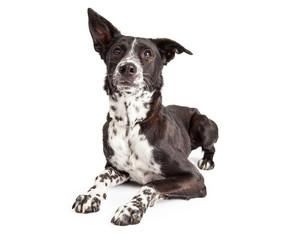 Attentive Australian Shepherd Mixed Breed Dog Laying