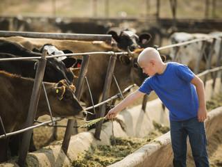 Caucasian boy feeding cow on farm