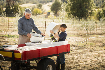 Older Caucasian man and grandson working in olive grove