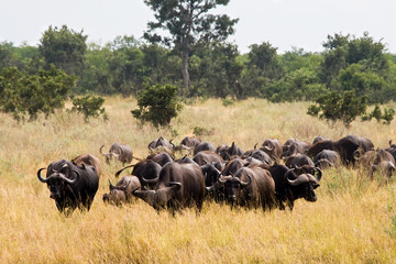 Buffaloes in Kruger National Park, South Africa.