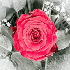 Beautiful red rose flower
